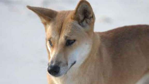 Secret of Dingo's Down-Under Origin Revealed