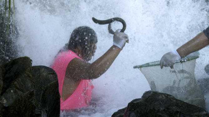 A Native American man catches lampreys, eel-like fish, at Willamette Falls, a 40-foot waterfall south of Portland, Oregon on Friday, June 12, 2015. An ancient fish that's a source of food for tribes in the Pacific Northwest, lampreys have been in drastic decline in recent decades. (AP Photo/Gosia Wozniacka)