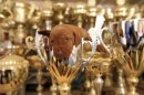 A Wire-haired Vizsla puppy sits in a trophy of one of her forebears at a kennel in Paty