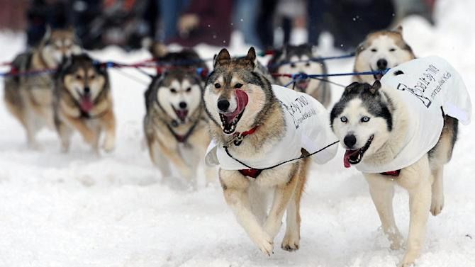 The dog team of Mike Ellis round the corner at 4th Avenue and Cordova Street during the ceremonial start of the Iditarod Trail Sled Dog Race on Saturday, March 2, 2013, in Anchorage, Alaska. The competitive portion of the 1,000-mile race is scheduled to begin Sunday in Willow, Alaska. (AP Photo/Anchorage Daily News, Bill Roth)