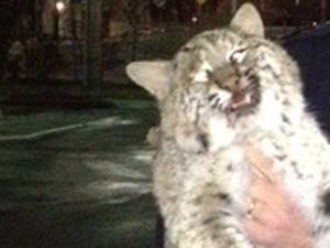 That's No Pussycat - It's a Bobcat!