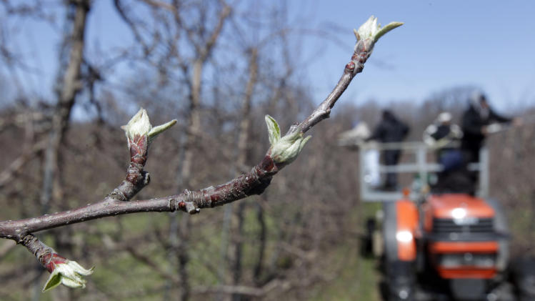 Workers prune apple trees on Russell Farms in Appleton, N.Y., Monday, March 26, 2012. Cold air overnight threatens to freeze plants that have budded or blossomed early amid record-setting warmth. (AP Photo/David Duprey)