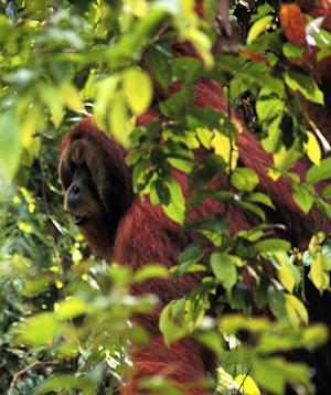 This photo provided by Carel van Schaik shows the orangutan Arno in the jungle of Sumatra in 1998 looking in the direction he intends to travel the next day and letting out a long whooping call to alert others of his route just in case they need to follow him or stay clear. What Arno did hundreds of times tells scientists that advance planning and social networking about your trip aren't just human traits. The results are detailed in a new study published Wednesday in the journal PLoS One, followed the male orangutans in hundreds of trips starting back in the 1990s. (AP Photo/Perry van Duijnhoven)