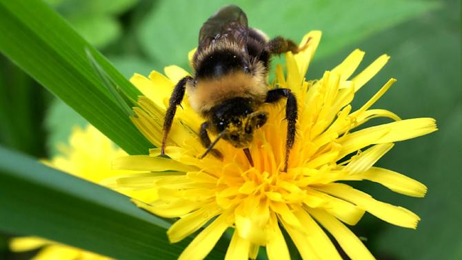 A bumblebee collects pollen from a dandelion flower