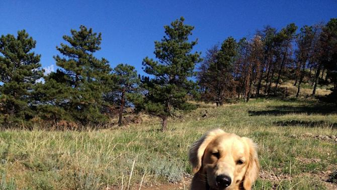 This summer 2012 photo provided by Colorado State University, shows a golden retriever, Louie Mesinger, resting on a trail during a hike outside of Boulder, Colo. The Golden Retriever Lifetime Study will be the largest and longest study of dogs ever conducted. For Louie and 2,999 other purebred golden retreivers who are chosen over the next two years, their lives, usually a 10-to-14-year life span, will be tracked for genetic, nutritional and environmental risks to help scientists and veterinarians find ways to prevent canine cancer. (AP Photo/Colorado State University, Josh Mesinger)