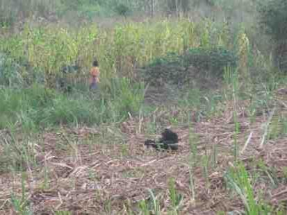 Chimps in Uganda: The Landmine Snare