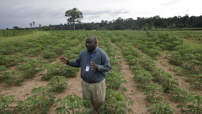"In this photo taken Tuesday, Oct. 2, 2012. Richardson Okechukwu, a scientist who study cassava speaks to Associated Press in a Cassava farm , "" Come war, Come anything, the farmer who has cassava has food"" at the International Institutes For Tropical Agriculture, in Ibadan, Nigeria. From this field nestled among the lush rolling hills of Nigeria's southwest, the small plants rising out the hard red dirt appear fragile, easily crushed by weather or chance. Looks, however, are deceiving. These cassava plants will grow into a dense thicket of hard, bamboo-like shoots within a year, with roots so massive a single planted hectare can provide three tons of food. The plants survive fires, droughts and pestilence, while offering a vital food source for more than 500 million people living across sub-Saharan Africa. (AP Photo/Sunday Alamba)"
