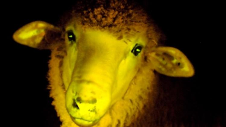 Sheep Finally Learn to Glow