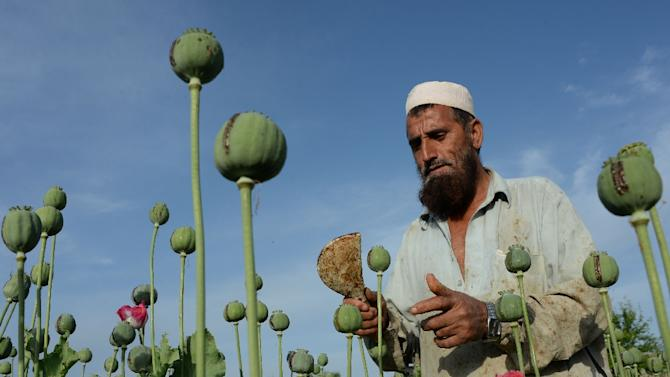 """A UN Office on Drugs and Crime report has highlighted a """"worrying reversal"""" in efforts to combat the scourge of drugs"""" and opium cultivation in Afghanistan"""