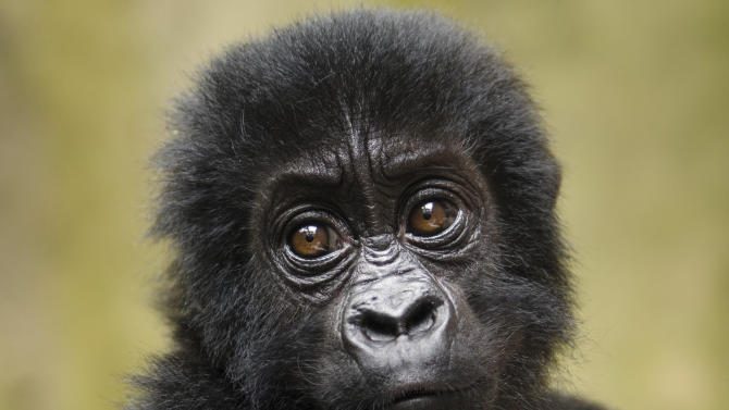A baby Grauer's gorilla that had been poached from Kahuzi-Biega National Park is seen at the Senkwekwe Orphan Gorilla Center at Virunga National Park in eastern Congo. Twenty-five species of monkeys, langurs, lemurs and gorillas are on the brink of extinction and need global action to protect them from increasing deforestation and illegal trafficking, researchers said Monday, Oct. 15, 2012. (AP Photo/Virunga National Park, LuAnne Cadd, File) EDITORIAL USE ONLY