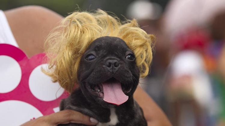 "A dog wears a blonde wig during the ""Blocao"" dog carnival parade in Rio de Janeiro, Brazil, Sunday, Feb. 3, 2013. According to Rio's tourism office, Rio's street Carnival this year will consist of 492 block parties, attended by an estimated five million Carnival enthusiasts. (AP Photo/Silvia Izquierdo)"