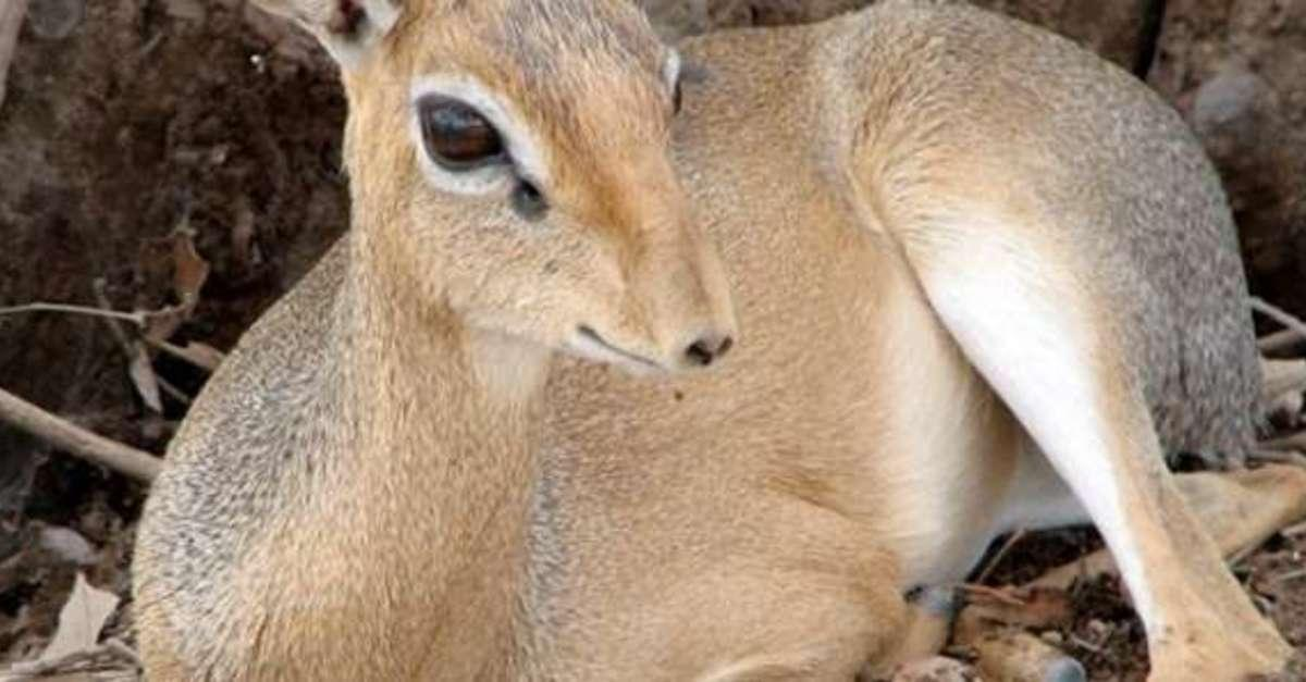 10 Facts About Dik-Diks That Will Melt Your Heart