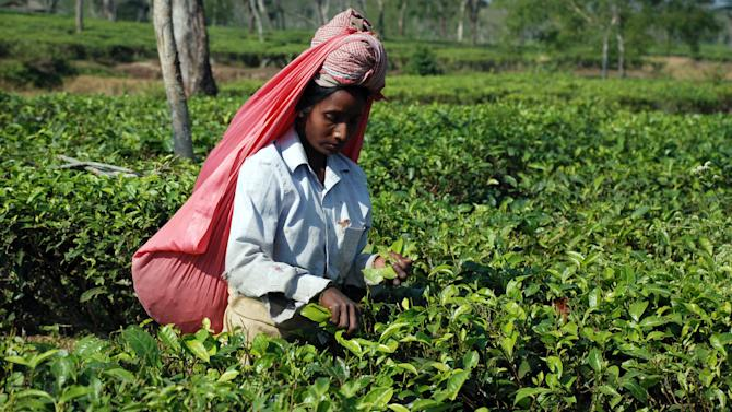 In this photo taken Nov. 30, 2012, a tea plucker works on the Gatoonga Tea Estate in Jorhat in Assam, India. Assam is a must for tourists interested in tea and the lifestyle of its planters. Several colonial era bungalows and mansions are now open to visitors for overnight stays. (AP Photo/Denis Gray)