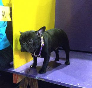 Westminster, French Bulldog