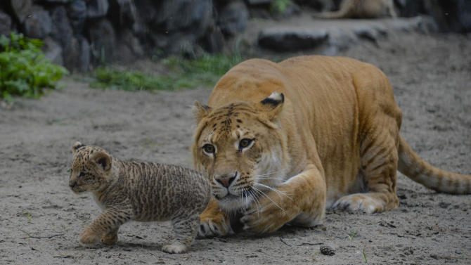 In this Tuesday, June 18, 2013 photo Zita, a liger - half-lioness, half-tiger - watches her one month old liliger cub in the Novosibirsk Zoo. The cub's father is a lion, Sam. (AP Photo /Ilnar Salakhiev)