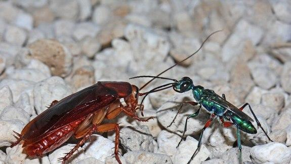 Baby Wasps Disinfect Cockroaches Before Eating Them