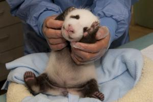 It's a Boy! San Diego Zoo's Newest Panda Cub Is Male