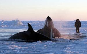 Race Is On To Save Killer Whales Trapped Under Ice