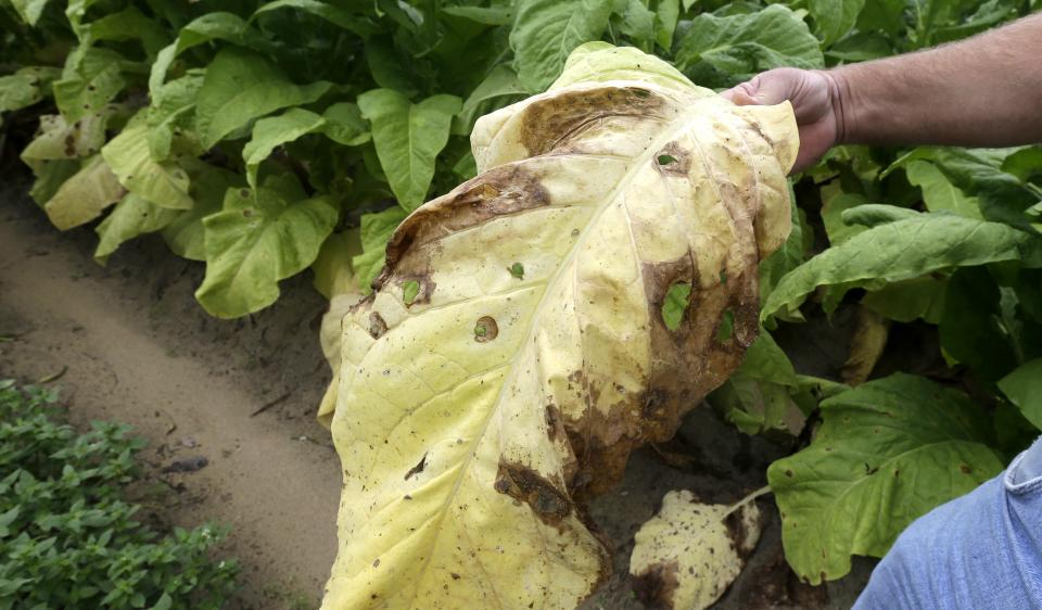 Across tobacco country, crops wilt from rain