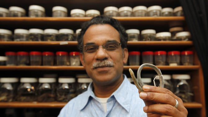 In this Monday, Feb. 20, 2012 photo, Delhi professor Sathyabhama Das Biju displays an adult chikilidae in his laboratory in New Delhi, India. Biju and his team of biologists have identified an entirely new family of amphibians, called chikilidae, endemic to the region but with ancient links to Africa. Their discovery, published Wednesday, Feb. 22, 2012, in a journal of the Royal Society of London, gives yet more evidence that India is a hotbed of amphibian life with habitats worth protecting against the country's industry-heavy development agenda. (AP Photo/Mustafa Quraishi)