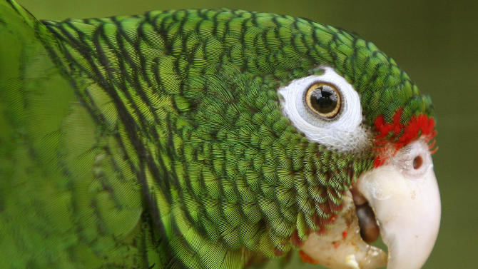 In this photo taken Thursday June 23, 2011, a Puerto Rican parrot is pictured inside a fly cage at El Yunque National Forest protected habitat in Luquillo, Puerto Rico. The parrots are one of about 34 Amazon parrots' species found in the Americas. They are known for the bright red shock of feathers at their forehead, white rings around their eyes and the shimmering blue feathers under their wings. The Puerto Rican parrot has hovered at the edge of extinction for decades but is now making a bit of a comeback. (AP Photo/Ricardo Arduengo)