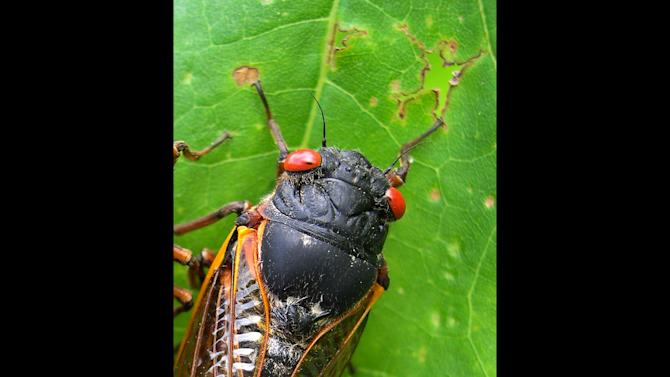 This photo provided by the University of Connecticut shows a cicada in Pipestem State Park in West Virginia on May 27, 2003. Any day now, cicadas with bulging red eyes will creep out of the ground after 17 years and overrun the East Coast with the awesome power of numbers. Big numbers. Billions. Maybe even a trillion. For a few buggy weeks, residents from North Carolina to Connecticut will be outnumbered by 600 to 1. Maybe more. And the invaders will be loud. A chorus of buzzing male cicadas can rival a jet engine. (AP Photo/University of Connecticut, Chirs Simon)