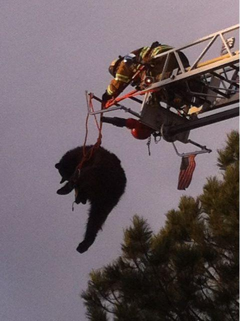 This image provided by the Colorado Springs Fire Department shows a bear being rescued from a tree after being tranquilized May 19, 2013 in Colorado Springs, Colo. The bear weighed between 150 and 200 lbs. State wildlife division spokesman Michael Serpahin a wildlife officer and firefighters put a harness around it. Then they lowered the bear to the ground as it dangled from the ladder. (AP Photo/Colorado Springs Fire Department)