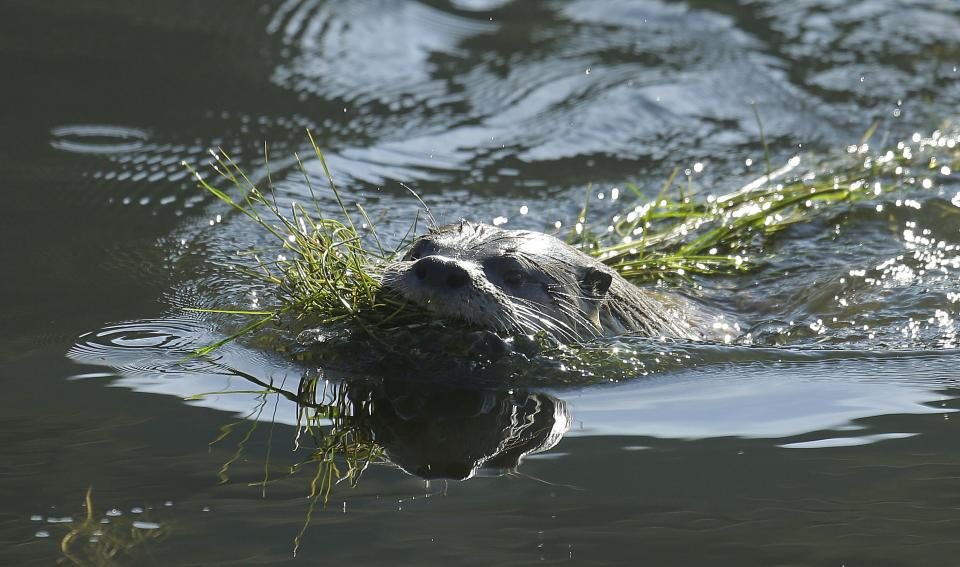Rare San Francisco river otter stumps researchers