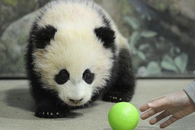 Everything from salmon to the Dalai Lama affects whether your zoo gets a panda