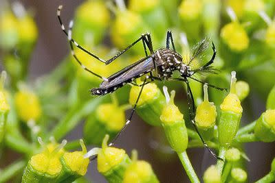 Scientists want to release millions of genetically-modified mosquitos in Florida. Here's why.