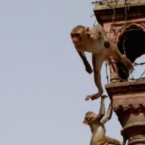 You'll Never Guess Where This Monkey Lands