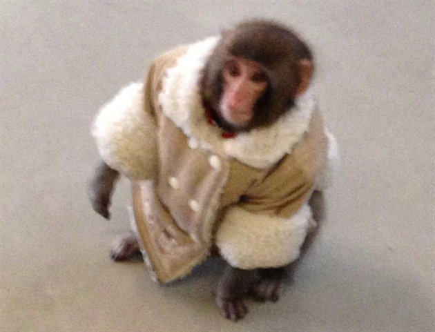 Who should have Darwin the Ikea monkey?