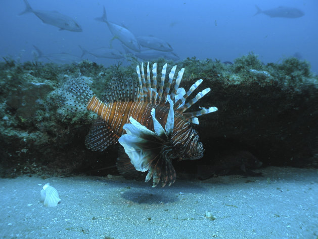 FILE- In this July 2006 file image released by NOAA Undersea Research Center, a lionfish swims at a depth of about 130 feet, roughly 55 miles off the coast of North Carolina. Conservationists in St. Maarten are warning islanders not to eat lionfish after tests found a naturally occurring toxin in the flesh of the candy-striped invasive species that is causing ecological damage across the region, officials said Thursday, Nov. 24, 2011. (AP Photo/Doug Kesling/NOAA Undersea Research Center, file)