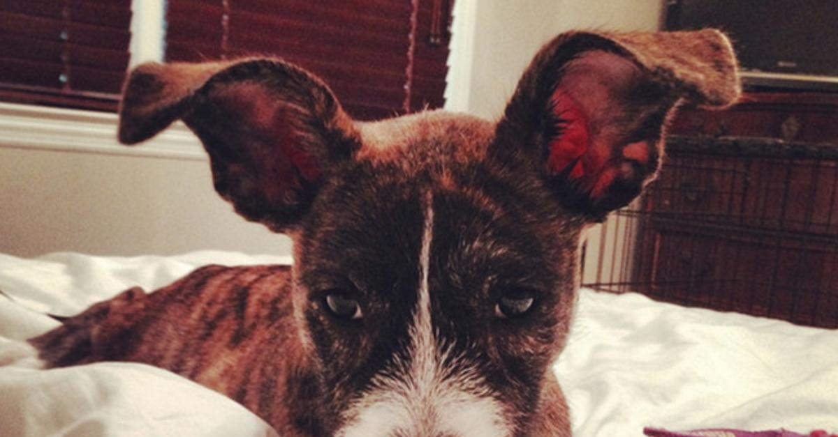 15 Reasons Why Animals Look Cuter With Large Ears