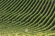 A man harvests grapes in the Champagne area in Montgueux, eastern France, during the grape harvest season in 2010. After one of the worst spring growing seasons on record, producers of the world's most celebrated bubbly are bracing themselves for one of the smallest harvests in the last 20 years