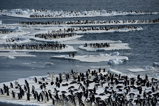 Adelie penguin adults on Ice floes off the coast of Cape Crozier colony, Antarctica. Their growing chicks require constant feeding, and the adults take it in turn to leave the colony to hunt for silve