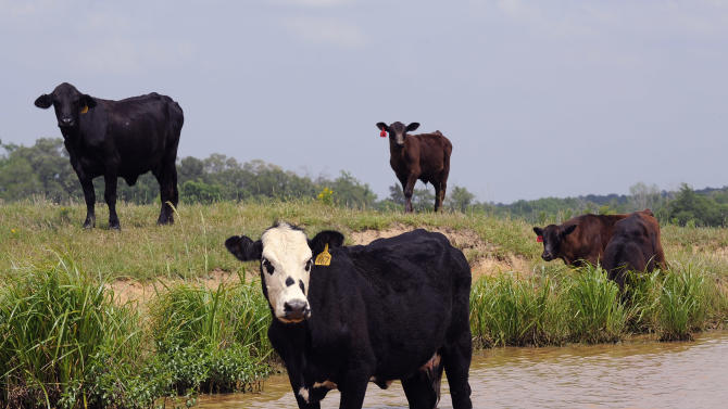 --HOLD FOR STORY--Some of Linda Galayda's cattle take advantage of a full water tank Friday, April 27, 2012, at the 7-bar-7 ranch in Elkhart, Texas. (AP Photo/Pat Sullivan)