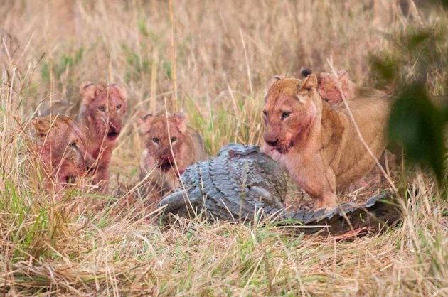 Stand-off: The fearsome Nile crocodile eyes up the kill guarded by the lions (Caters)