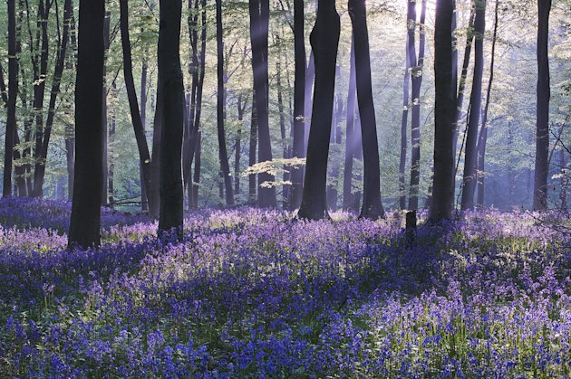 'Bluebell Dawn', Micheldever Wood, Hampshire: Louis Neville left home at 1am to capture this stunning sunrise scene in Hampshire. He was rewarded for his efforts with a commendation in the 'Classic Vi