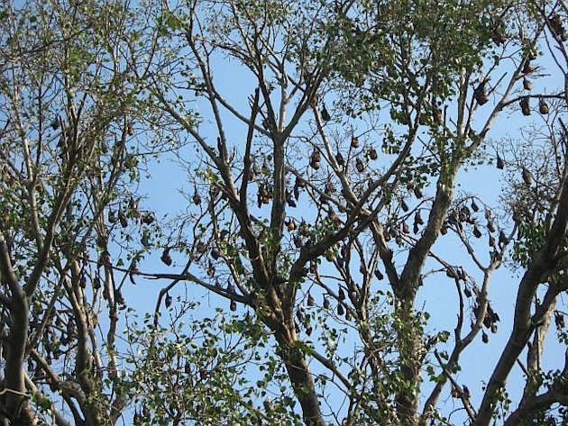 The bat tree in Chikmagalur