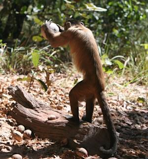 Nut-Cracking Monkeys Show Humanlike Skills