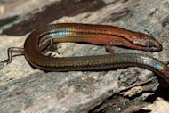 A handout photo released by Conservation International shows a new lizard species at Ratanak Kiri province, some 600 kilometers northeast of Phnom Penh