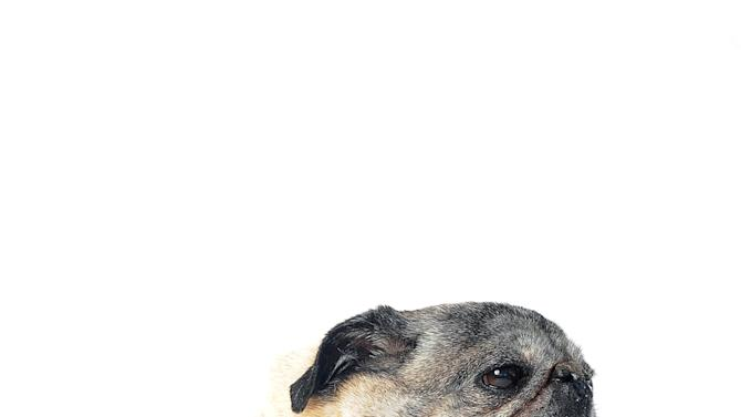 Penny poses for a portrait while competing in the 25th annual World's Ugliest Dog Contest at the Sonoma-Marin Fair on Friday, June 21, 2013, in Petaluma, Calif. (AP Photo/Noah Berger)