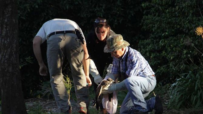 A wildlife rescue group captures a red-tailed hawk in a San Francisco park that appears to have been shot in the head with a nail gun. Rebecca Dmytryk, executive director of the Monterey-based group WildRescue, says the juvenile bird was trapped Saturday Oct. 22, 2011 shortly before sunset at the San Francisco Botanical Gardens. The bird was immediately transported to Wildlife Center of Silicon Valley in San Jose. (AP Photo/Katerine Ulrich - WildRescue)