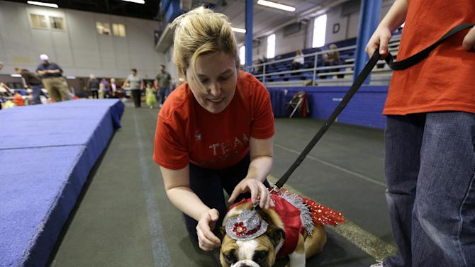 Laura Kares, of Omaha, Neb., puts a hat on her bulldog Molly during the 34th annual Drake Relays Beautiful Bulldog Contest, Monday, April 22, 2013, in Des Moines, Iowa. The pageant kicks off the Drake Relays festivities at Drake University where a bulldog is the mascot. (AP Photo/Charlie Neibergall)