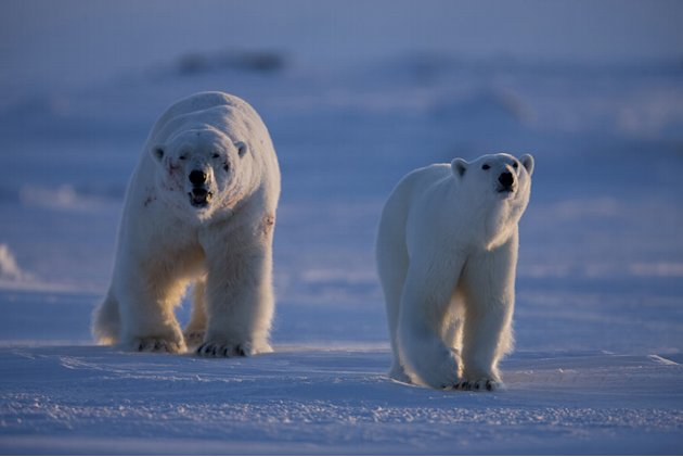 Male polar bear follows female, showing battle scars. The size difference is clearly illustrated - the male weighs twice as much as she does. The Frozen Planet crew filmed the entire courtship sequenc