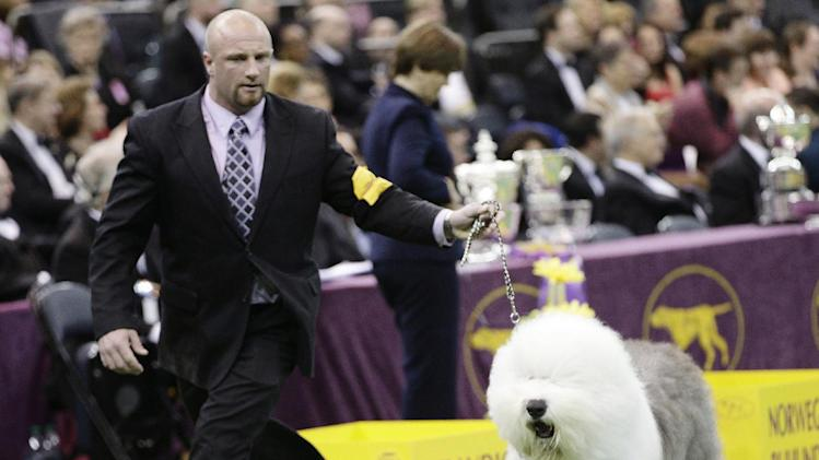 Colton Johnson shows off Swagger, an Old English Sheep Dog, winner of the hearding group, during the Westminster Kennel Club dog show Monday, Feb. 11, 2013, at Madison Square Garden in New York.(AP Photo/Frank Franklin II)