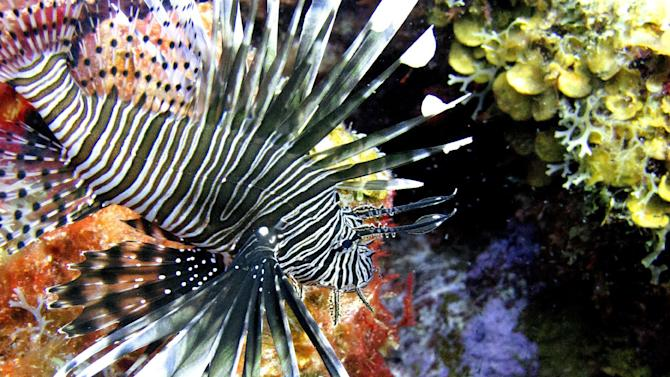 FILE- In this May 22, 2012 file photo, a lionfish swims near coral off the Caribbean island of Bonaire. The effort to turn lionfish into a menu item appears to be working but the demand seems to be outpacing the supply. Lionfish are difficult to catch and must be individually speared. (AP Photo/David J. Phillip, File)