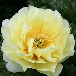 'Bartzella' Itoh hybrid peony