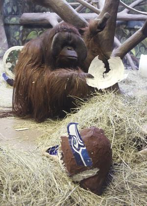 This image provided by the Hogle Zoo shows Eli the ape with a paper mache Seattle Seahawks helmet she chose over a Denver Broncos helmet, predicting the winner of this Sunday's Super Bowl at the Hogle Zoo in Salt Lake City, Thursday, Jan. 30, 2014. Eli has correctly picked the Super Bowl winner for six straight years. (AP Photo/Hogle Zoo)